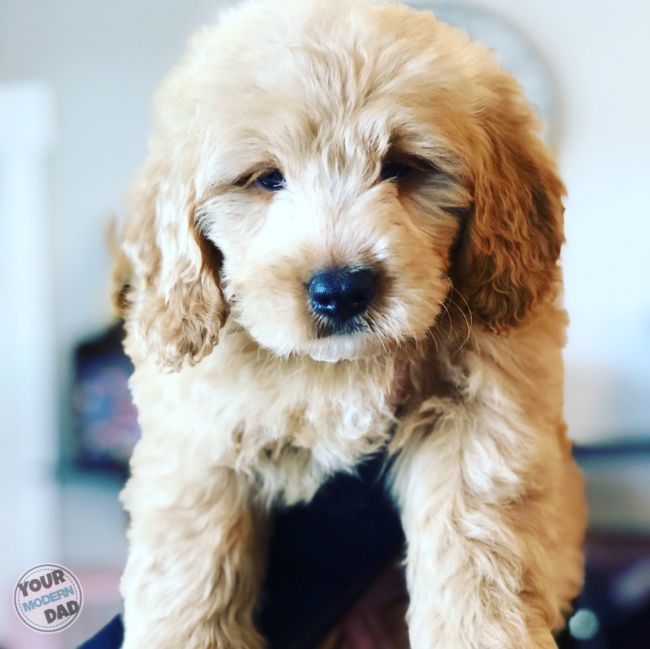 goldendoodle training ideas